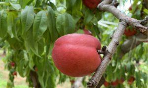 culture telaqua irrigationarboriculture pommiers