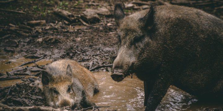 [Sondage] Les animaux nuisibles aux productions agricoles, comment organiser la lutte ?